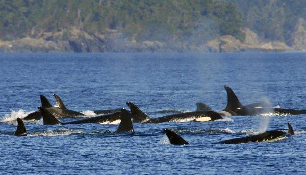 Видео редкой охоты косаток на горбатых китов появилось в Сети