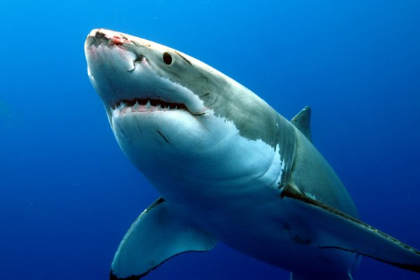 Ученые выяснили, почему погибли гигантские акулы со времен динозавров
