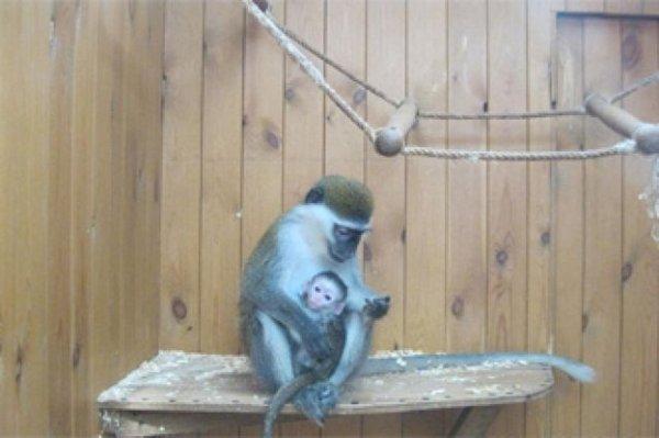Семья зеленых мартышек Воронежского зоопарка принесла четвертое потомство