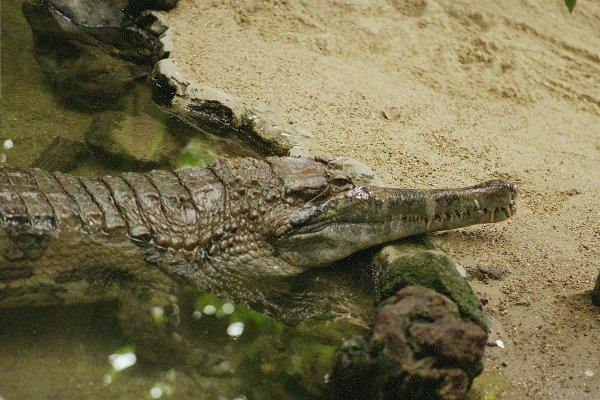 Два в одном: Учёные неожиданно выявили в Африке новый вид крокодилов