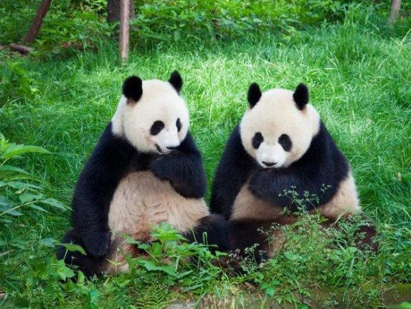 Самцы панд перед спариванием поют самкам романтические песни – ученые
