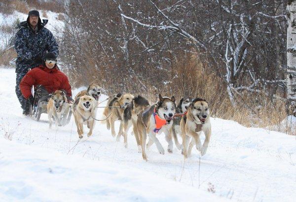 В Дании упряжки с собаками признали официальным транспортом
