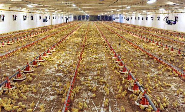 На тюменской птицефабрике появится новая производственная линия