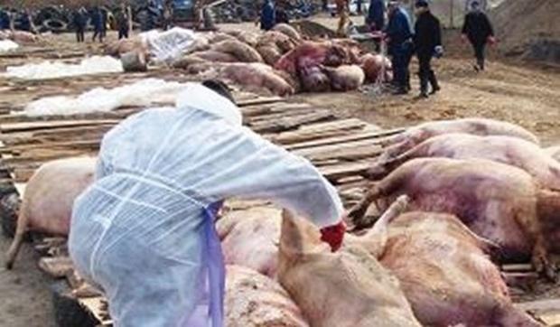 В тюменской деревне, где от африканской чумы массово погибали свиньи, найдена свалка из ног и голов