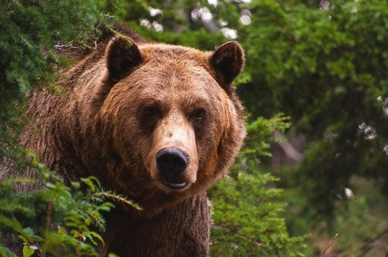 Медведь растерзал 15-летнего школьника