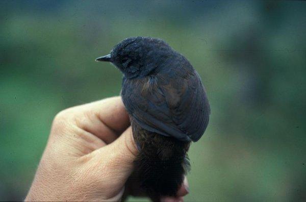 В Бразилии была обнаружена редчайшая птица