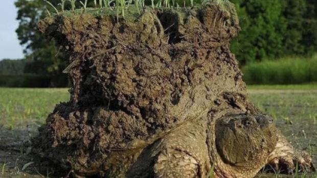 Обнаружена черепаха, несущая на себе 8 килограммов земли