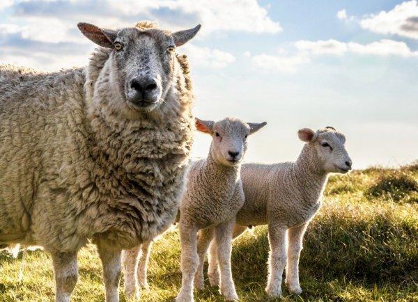 Овцы не могут распознавать лица людей – ученые