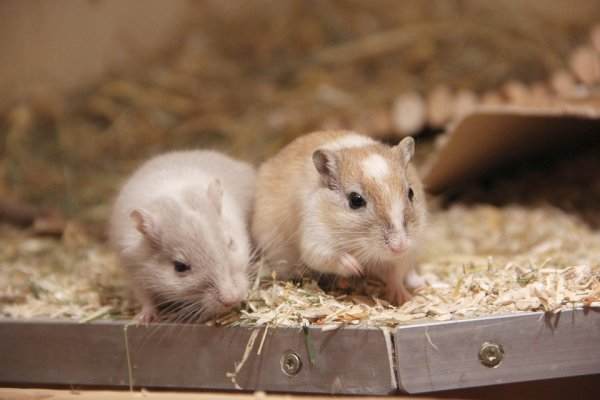 Американские ученые научились регенерировать конечности у мышей
