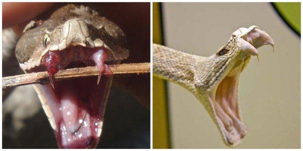 Катана в животном мире: Учёные разрабатывают иглы на основе клыков гадюки