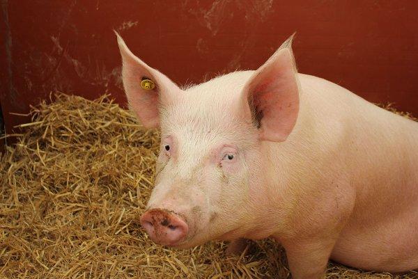 Ученые восстановили функции мозга свиньи после смерти