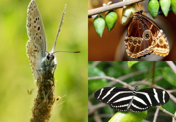 Учёные обнаружили новые виды бабочек благодаря особенностям гениталий