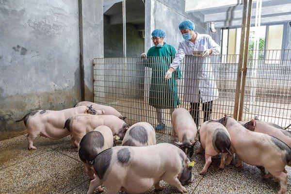 Гибрид свиньи и человека: Пугающий туристов свинорыл оказался неудачным опытом китайцев