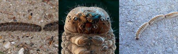 Нибируанская тля. В Сочи туристы жалуются на инопланетных гусениц