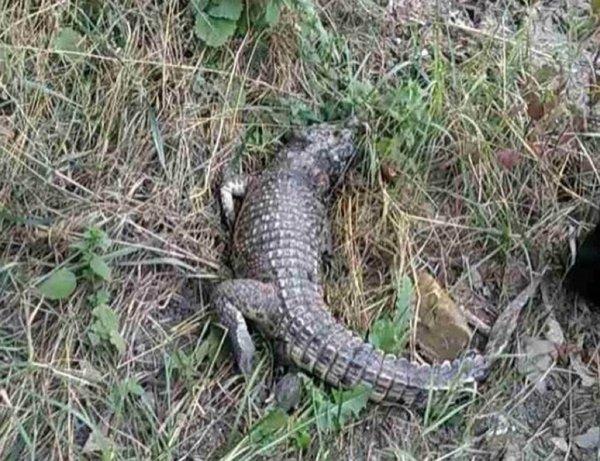 Парад жутких тварей: В Ялте рыбоглот с Юпитера загнал крокодила на Первый звонок