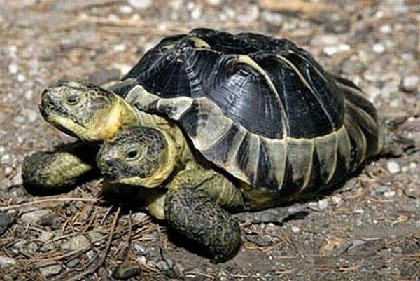Череподав с Нибиру! Гигантскую черепаху-мутанта засняли в Крыму