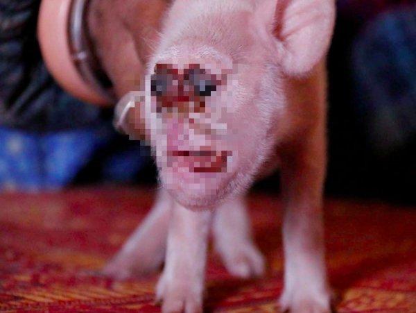 Твари из Фукусимы. В Японии нашли свинью-мутанта