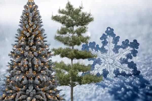 Колючее спасение: Как ёлка и сосна помогут встретить Новый Год