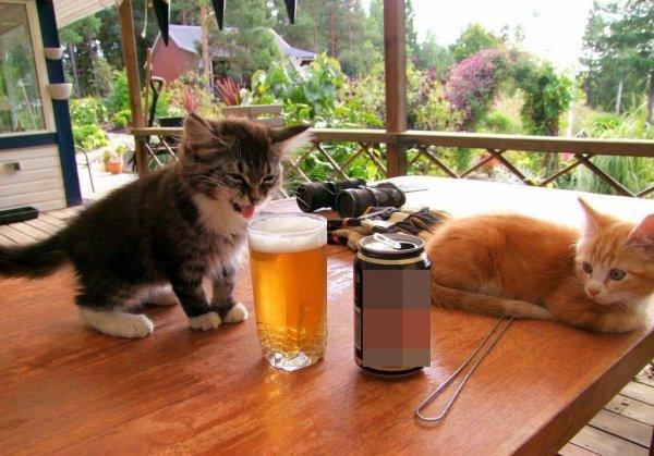Котики-пивоглотики. Как уберечь питомцем любимого от алкоголизма?