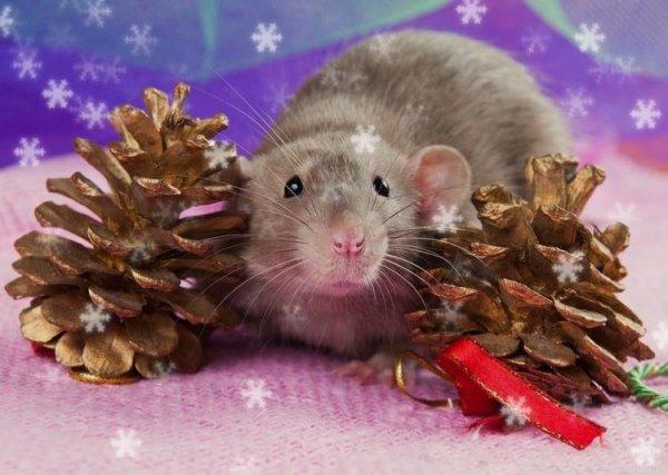 Отличия года Крысы от других – эзотерик назвал базовые приметы Нового года