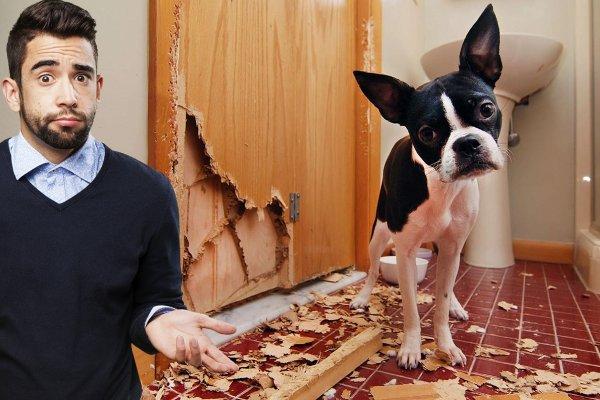 Хвостатое наказание: Почему собаки грызут вещи и мебель