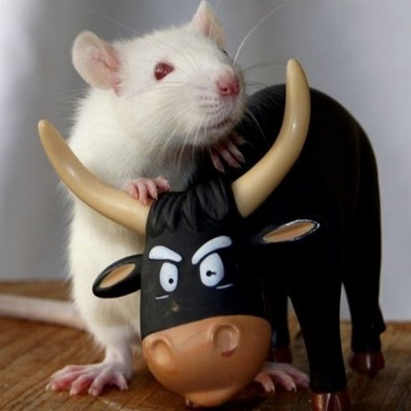 Телец-Крыса: В чём достоинство Зодиака рождённого в этот год