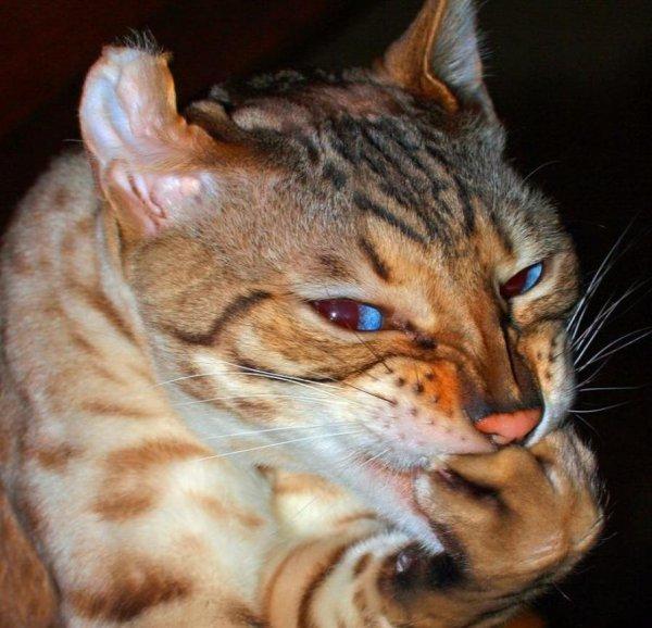 Кот-обормот: Чем «странные» коты полезней других - эзотерик