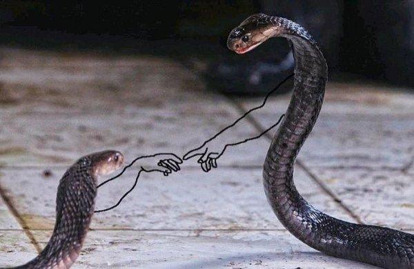 Змеи могут «дружить» и создавать стабильные социальные связи