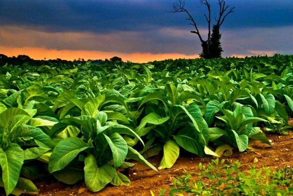 В Пущине генетически скрестили биолюминисцентные грибы и табак