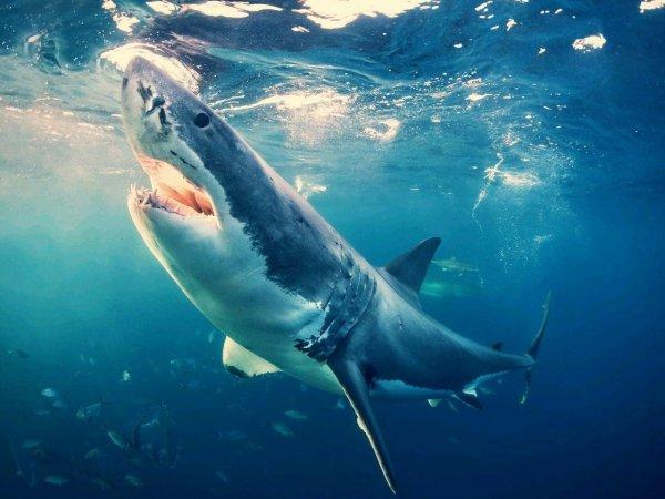 Биологов удивила диета молодых белых акул у берегов Австралии