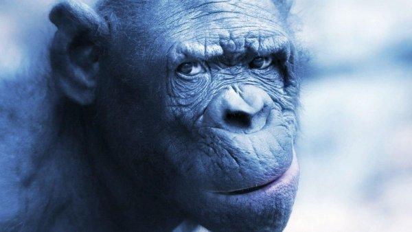 В сердце шимпанзе нашли кости неизвестного происхождения