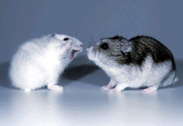 «Гормон любви» окситоцин вызвал агрессию у мышей