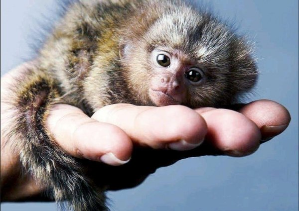 Человеческий ген сделал мозг обезьян-игрунок больше